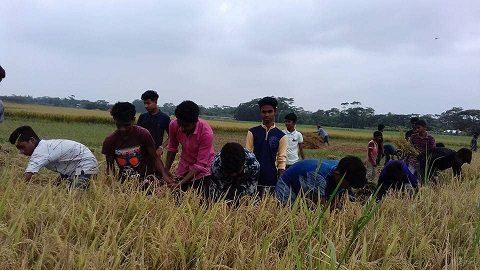 গোসাইরহাটে বিনামূল্যে দরিদ্র কৃষকের ধান কেটে দিলেন শিক্ষার্থীরা